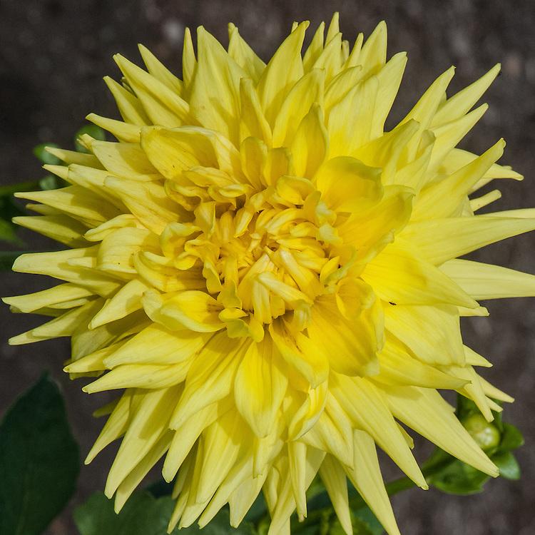 Dahlia 'Clearview Sundance', early September. A yellow Large Cactus Group dahlia.