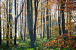 Autumn woodland scene of deciduous trees with orange brown leaves, near Sandy Lane, Wiltshire, England, UK