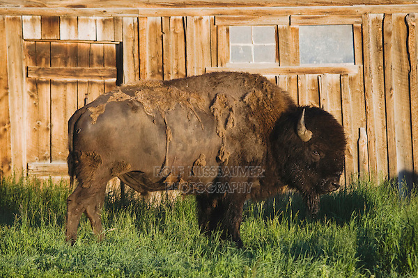 American Bison, Buffalo (Bison bison) adult in front of old wooden Barn, Antelope Flats, Grand Teton NP,Wyoming, USA
