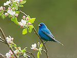 Indigo Bunting (Passerina cyanea), male amid apple blossom in spring, Freeville, NY, USA