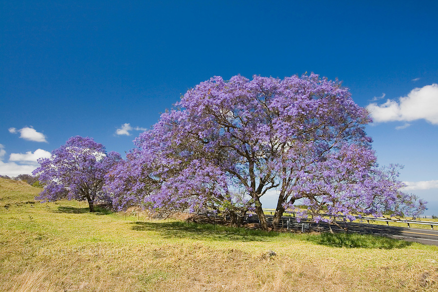 Lavender blossoms on a jacaranda tree, Jacaranda mimosifolia, in a field beside the road to Haleakala Crater on the island of Maui, Hawaii.