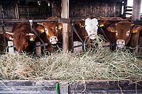 Pozzallo frazione di Romagnese (Pavia). Cooperativa Agricola Canedo: allevamento semibrado di bovini da carne. Mucche mangiano fieno in stalla --- Pozzallo Romagnese (Pavia). Canedo Agricultural Cooperative: semi-wild breeding of beef cattle. Cows eating hay in the stable