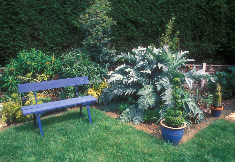Artichoke Cynara cardunculatus Scolymus vegetable plant growing in the garden in the ground, edible crop, perennial, with other plants and flowers in backyard garden with blue garden bench, lawn grass