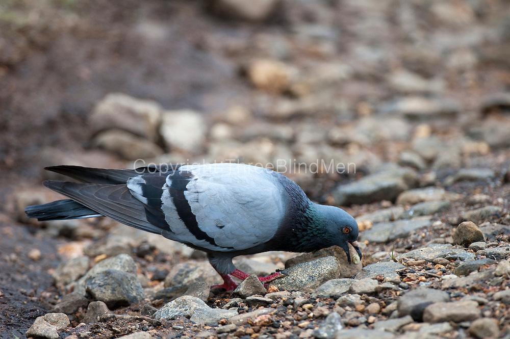 Sri Lanka Blue Rock Pigeon Threeblindmen Photography Archive