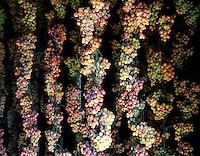Harvest-2007-Italy