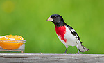 Male rose-breasted grosbeak going to feed on an orange in northern Wisconsin.