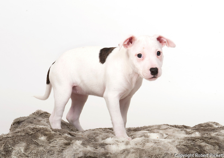 9 week old Staffy Puppy, in studio, black and white colours, UK