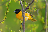 Male Baltimore Oriole or Northern Oriole (Icterus galbula).  Great Lakes Region, Spring.