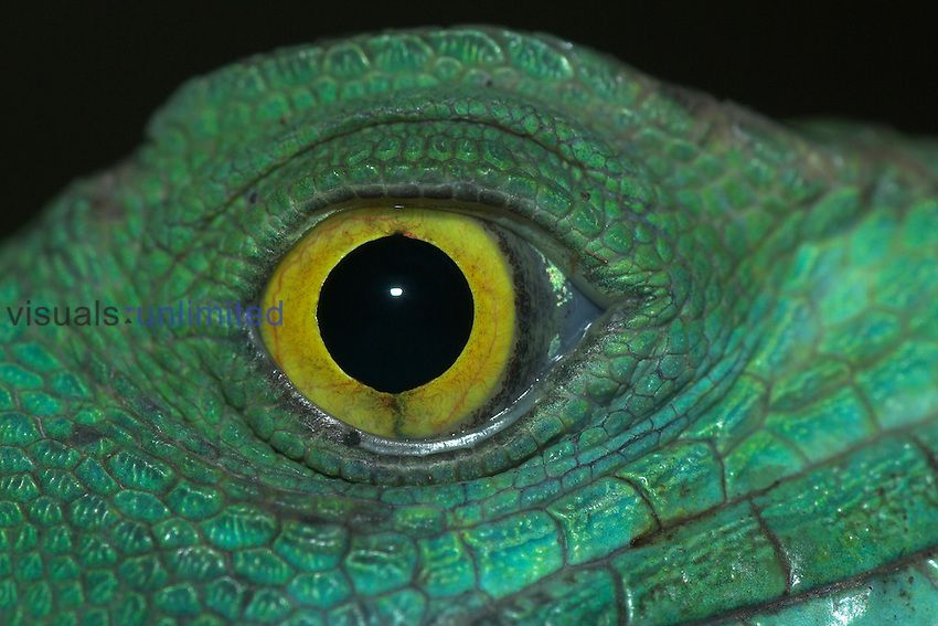 Plumed Basilisk Lizard (Basiliscus plumifrons) found in the rainforests of Central and South America. It is best known for running on its hind legs over the surface of water.
