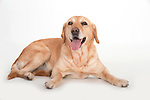Golden Labrador Dog, Laying Down, Studio, White Background