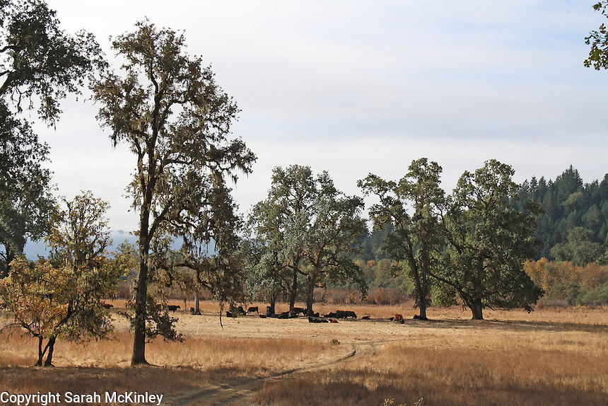 Cattle gather beneath a copse of oak trees in the dry bed of Little Lake along Reynold's Highway outside of Willits in Mendocino County in Northern California.