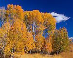Colville National Forest, WA<br /> A stand of aspens in autumn under blue skies
