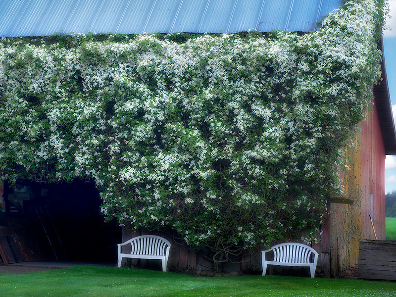 Climbing clematis flowers on barn with chairs Near Salem, Oregon. Oregon
