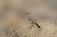 581970002 a wild leconte's thrasher toxostoma lecontei perches on a sagebrush plant stem in kern county california