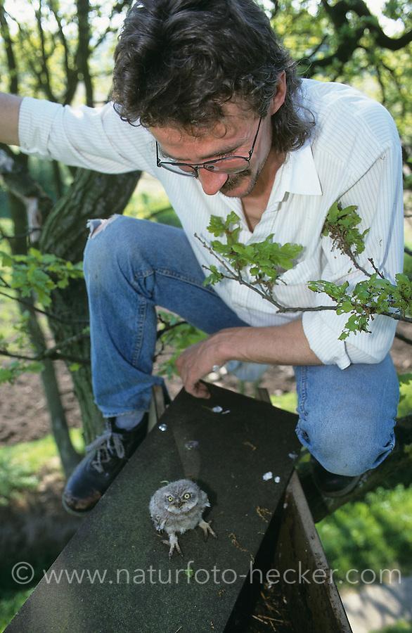 Steinkauz, Steinkauzröhre, Nisthilfe im Baum wird von Vogelschützer kontrolliert, mit Jungvogel, Küken, Stein-Kauz, Kauz, Käuzchen, Athene noctua, little owl