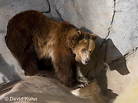 0325-1006  Grizzly Bear, Ursus arctos horribilis  © David Kuhn/Dwight Kuhn Photography.