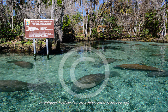 Trichechus manatus latirostris, Rastende Florida Seekuehe in Schutzgebiet bei Three Sisters, Resting West Indian manatee in sanctuary, Sea Cow by Three Sisters, Kings Bay, Crystal River, Citrus County, Florida, United States, USA, Februar 2014