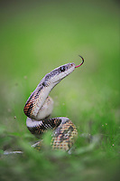 Texas Rat Snake (Elaphe obsoleta lindheimeri), adult, Refugio, Coastel Bend, Texas, USA