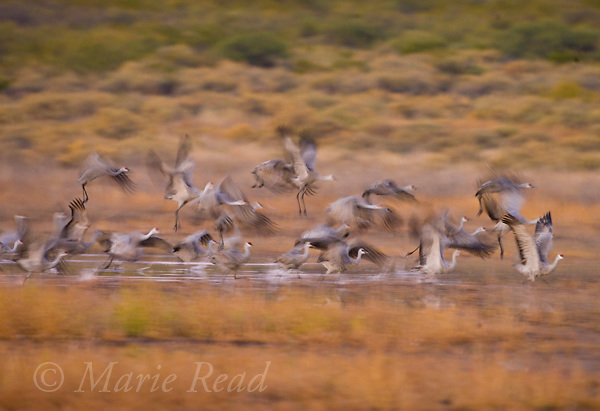 Greater Sandhill Cranes (Grus canadensis) take flight, Bosque Del Apache National Wildlife Refuge, New Mexico, USA