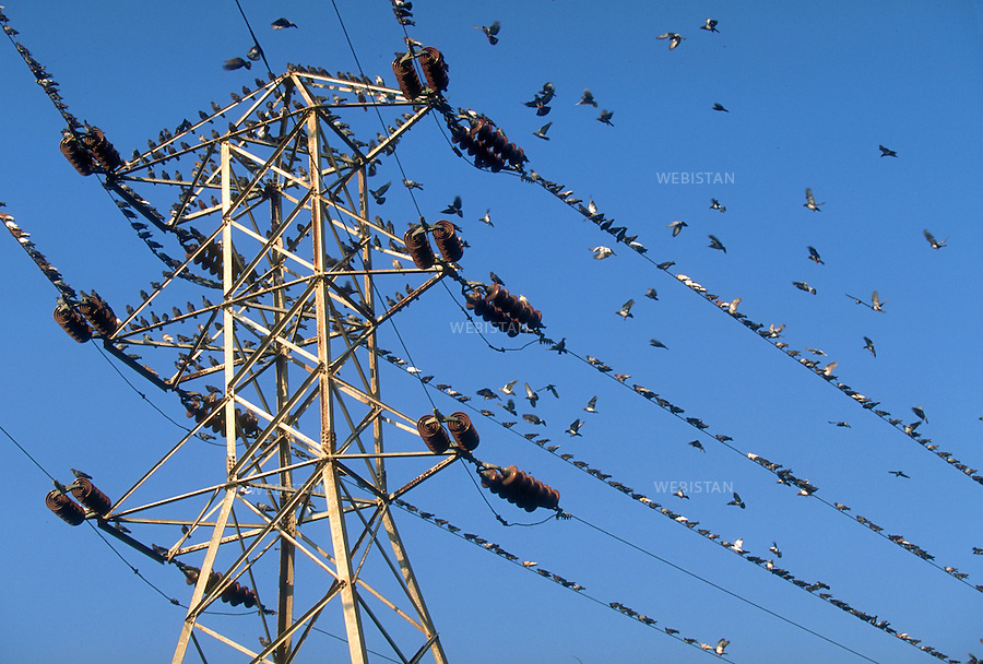 ..Egypt. Nile Delta. 1996. Pigeons on electrical wires...Egypte. Delta du Nil. 1996. Pigeons sur des fils electriques.