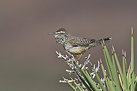 598060026 a wild adult cactus wren campylorhynchus brunniecepillus sings from the spine leaves of a joshua tree yucca brevifolia in southern kern county california