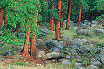 The trunks of ponderosa pine (Pinus ponderosa) after a summer shower in Rocky Mountain National Park, Colorado.