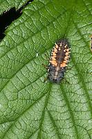 Larve vom Asiatischer Marienkäfer, Harlekin, Harmonia axyridis, Asian lady beetle, Harlequin lady beetle