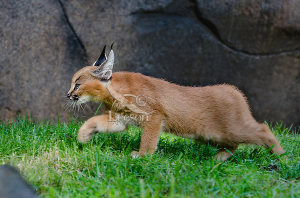 "Caracal Kitten (Caracal caracal)--this cat is about 7 weeks old.  The word ""Caracal"" comes from the Turkish word ""karakulak"" which means ""black ear.""  Found in Africa through Central Asia and India."