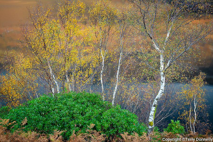 Glencoe, Scotland:<br /> Autumn birch, rhododendron and bracken ferns above Loch Leven