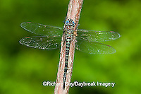 06370-001.08 Swamp Darner (Epiaeschna heros) male perched on branch, Clay Co.  IL