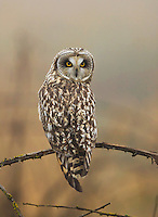 Short-eared owl perched on a dead black berry vine on a foggy afternoon.<br />