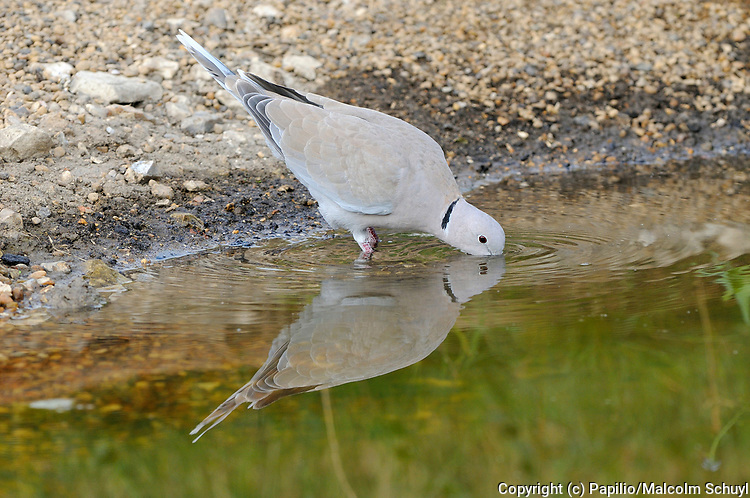 Collared Dove (Streptopelia decaocto) drinking at water's edge, Oxfordshire, UK.