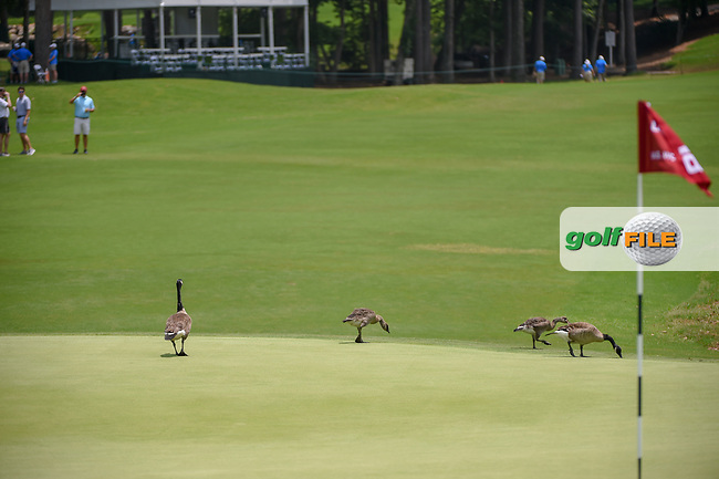 A flock of geese look closely over the green on 18 ensuring it's dry enough to begin play before round 3 of the U.S. Women's Open Championship, Shoal Creek Country Club, at Birmingham, Alabama, USA. 6/2/2018.<br /> Picture: Golffile | Ken Murray<br /> <br /> All photo usage must carry mandatory copyright credit (© Golffile | Ken Murray)