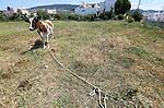 Foto: VidiPhoto<br /> <br /> KOS &ndash; Koeien lopen op het vakantie-eiland Kos en in grote delen van Griekenland gewoon aan de leiband. Letterlijk. Ze staan vast aan een paal met een stuk touw en begrazen alleen het deel van het weiland dat de langte van het touw toe laat. Zodra het stuk is afgegraasd, wordt de koe verplaatst. Een afrastering kennen de meeste Griekse boeren niet. Reden is dat er maar weinig melkveehouders zijn en de bedrijven vaak bestaan uit een handjevol koeien met wat ander vee. Bovendien kunnen zo kleine stukken grasland afgegraasd worden, ook midden in de stad zoals hier. De bekende, dikke romige, Griekse yoghurt: yiao&uacute;rti, wordt gemaakt van melk van de bruine koe op de achtergrond. Door de crisis krijgen de koeien ook vrijwel geen krachtvoer meer en doen ze dus noodgedwongen aan de lijn.