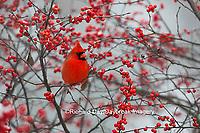 01530-21807 Northern Cardinal (Cardinalis cardinalis) male in Common Winterberry bush (Ilex verticillata) in winter, Marion Co IL