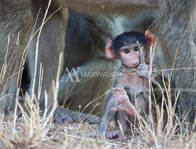 A troop of chacma baboons was hanging out near the road in Kruger National Park.