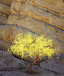 USA, California, Mecca Hills, A Flowering Palo Verde tree . Credit as: Christopher Talbot Frank