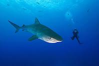 Tiger Shark, Galeocerdo cuvier, and scuba diver, West End, Grand Bahama, Bahamas, Atlantic Ocean