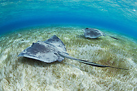 TR6020-D. Southern Stingrays (Dasyatis americana) swimming together over shallow sandy bottom with seagrass. An inshore species, from intertidal to at least 50 meters deep. Usually inactive during day, often buried under sand. Feeds at night primarily on fish, clams, and worms found on sand flats and seagrass beds. Mating occurs during winter months. Litter size 2-10, babies (size 15-20 cm across) born in shallow estuaries. Grand Cayman, Cayman Islands, Caribbean Sea.<br /> Photo Copyright &copy; Brandon Cole. All rights reserved worldwide.  www.brandoncole.com