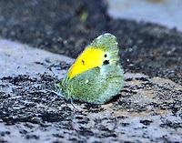 Dainty sulphur