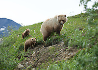 July 3, 2012, Grizzly Bear sow and cubs, Denali National Park and Preserve, Alaska, United States
