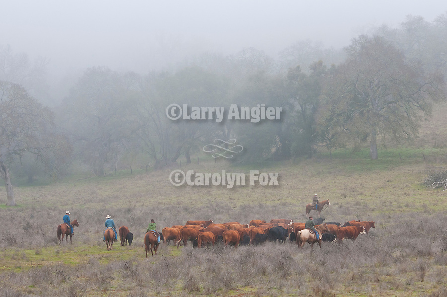 WInter calf marking and branding in the fog with the Joses outfit near Calaveritas, Calaveras County, Calif.