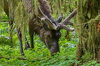 Roosevelt Elk (Cervus elaphus roosevelti) bull in velvet in Olympic National Park temperate rain forest, WA.  May.