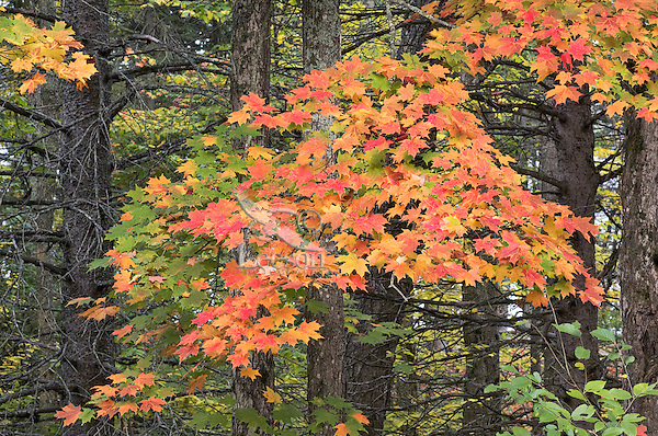 Sugar Maple Trees Acer Saccharum With Red Autumn Foliage