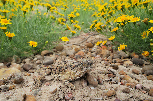 Texas Horned Lizard (Phrynosoma cornutum), adult among Dogweed (Dyssodia pentachaeta), Laredo, Webb County, South Texas, USA