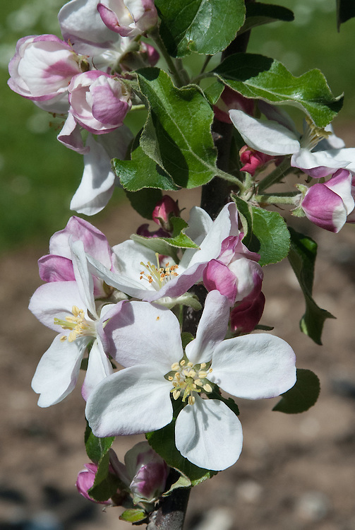 Blossom of cider apple 'Gross Launette', early May.