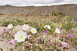 Anza-Borrego Desert State Park, Borrego Springs, California; several white and yellow Dune Evening Primrose flowers on the desert floor with yellow and purple wildflower in the background during the spring 2019 super bloom