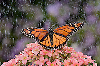 MONARCH BUTTERFLY (Danaus plexippus) in rain shower..Summer. Nova Scotia, Canada.