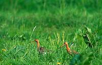Uferschnepfe, Paar auf einer Grünland-Wiese, Ufer-Schnepfe, Schnepfe, Limosa limosa, black-tailed godwit