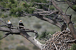 Bald eagles nest near Markleeville, Ca., on Tuesday, July 2, 2019.<br /> Photo by Cathleen Allison/Nevada Momentum